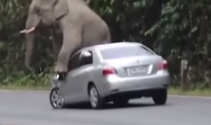 KDLINKS dash cams captures elephant sitting on car